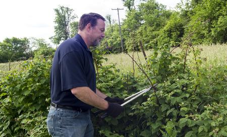 A organic farmer pruning his raspberry plants.