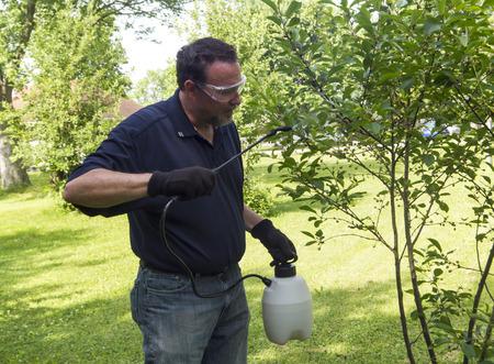 albero da frutto: Un agricoltore biologico spruzzare un ciliegio con uno spray organico.
