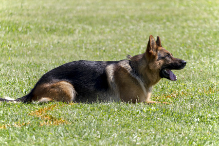 kampfhund: Deutsch Shepherd In Police K9 Angriff Ausbildung Lizenzfreie Bilder