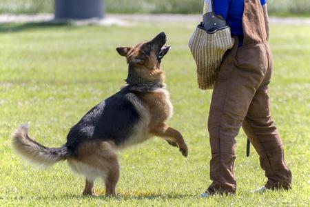 k9: German Shepherd in K-9 police training.