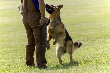 perro policia: Perro de pastor alemán en el entrenamiento de la policía.