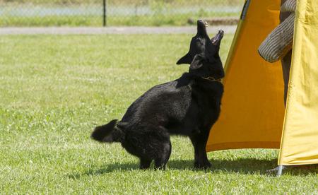 k9: Black German Shepherd in police K-9 training.