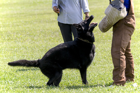 Black German Shepherd In Police K-9 attack training.