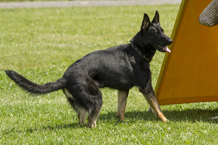 police dog: German Shepherd in police dog training. Stock Photo