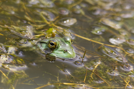 croaking: Bull Frog in stealth mode in hunting insects. Stock Photo