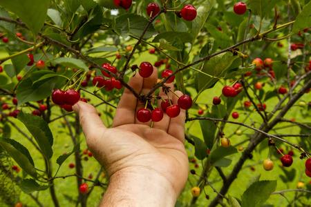 Farmer checking his cherry trees before harvest. Imagens
