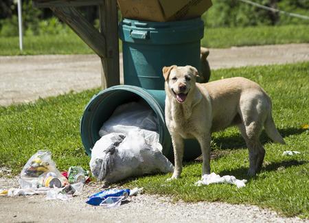 botes de basura: Perro perdido derribando cubos de basura en busca de comida, Foto de archivo