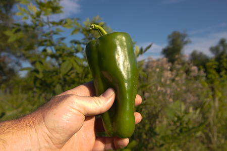 green pepper: Organic farmer just picked a huge green bell pepper from his field.
