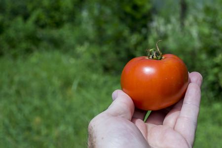 Freshly picked organis red tomato in farmers hand.