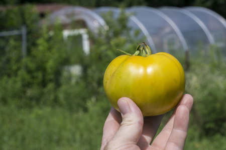 heirloom: Yellow heirloom tomato in farmers hand.