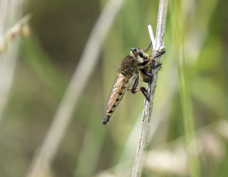 killings: Robber Fly attacking and killing a Honey Bee.