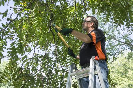 Worker trimming limbs off a walnut tree.