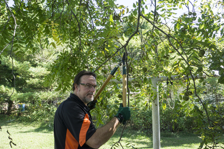tree trimming: Worker trimming low lying walnut tree limbs. Stock Photo