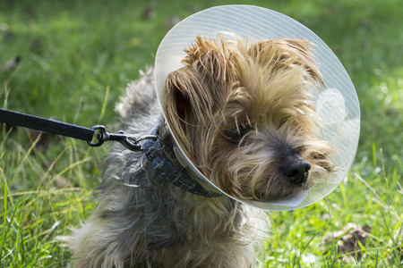 cone: Yorkshire Terrier wearing a medican cone due to a injury. Stock Photo