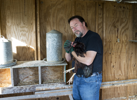 Farmer applying medication to a free range chicken with a small injury.