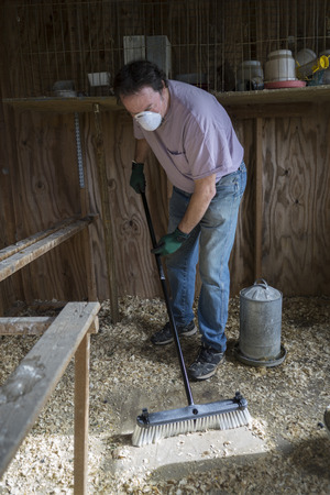 Chicken farmer sweeping used wood shaving to prevent Avian Flu and other diseases.