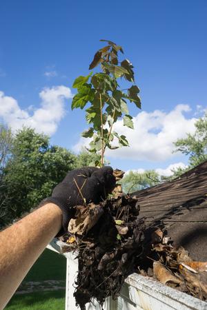 Cleaning Sapling From Gutter Standard-Bild