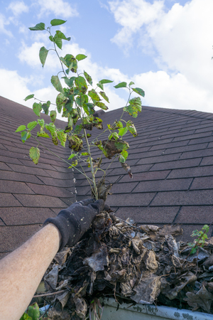 Service Tech Pulling Large Sapling From Gutters Stock Photo