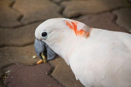 cockatoos: Cacatua