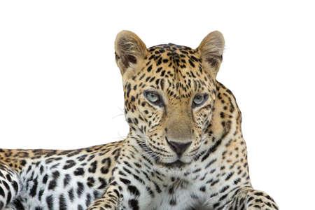 die cut: Leopard die cut