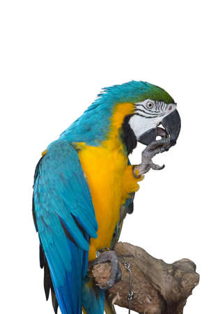 die cut: Macaw die cut