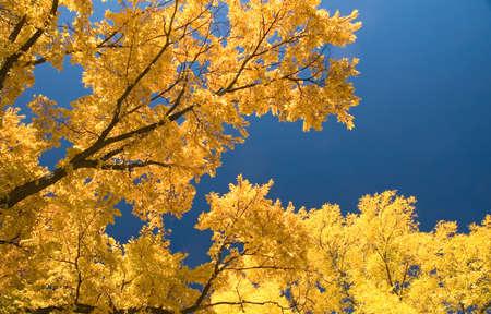 Olm bomen in de herfst - bladeren draaien geel. Stockfoto