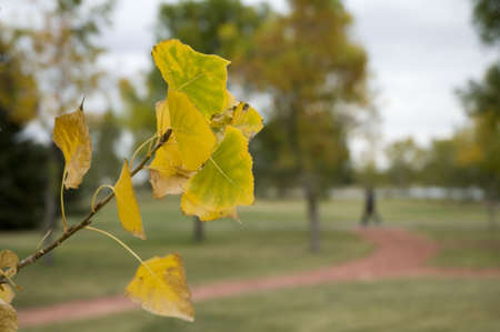 Quaking asp leaves turning yellow in the fall.