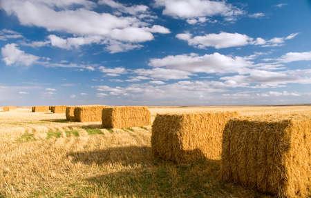 square: Ripe square hay bales. Stock Photo