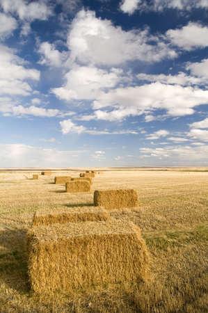 wheatfield: Square hay bales in a farmers field. Stock Photo