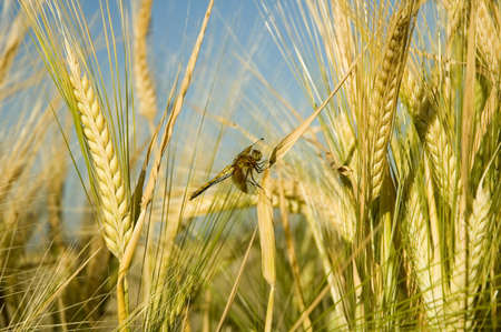 Dragonfly resting amongst stalks of barley. photo