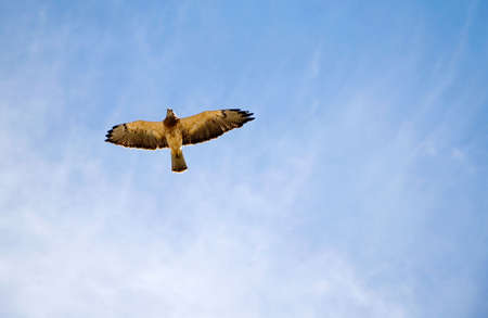 peregrine: An endangered Peregrine Falcon - or Prairie Falcon - flying high over head.