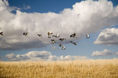 Group of pigeons flying over a barley field.