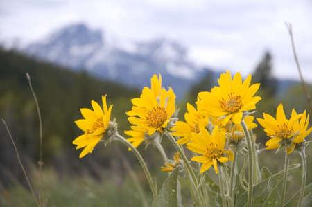 Arnica Rocky Mountain Wild Flower Stockfoto