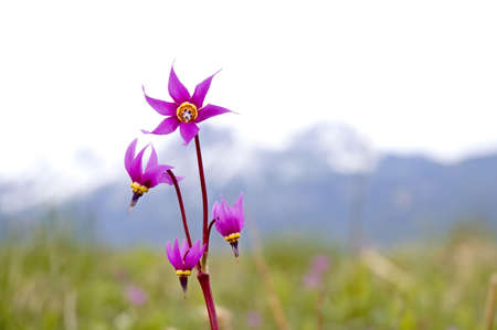 The Dodecatheon frigidum, or commonly called the Frigid Shooting Star. Banco de Imagens