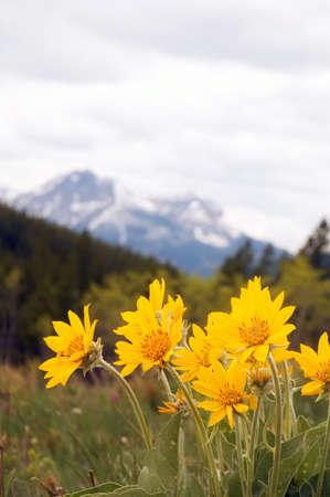 Arnica Rocky Mountain Wild Flower. Stock Photo - 2389111