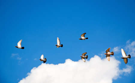 Flock of pigeons flying thru the sky.