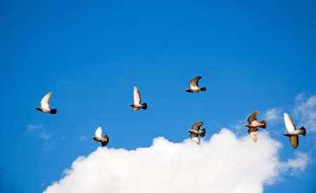 Zwerm duiven vliegen door de lucht.