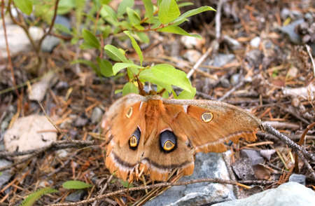 Polyphemus Moth hanging from a branch. Stock Photo