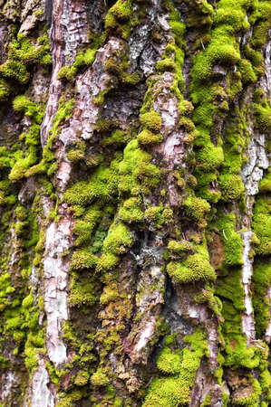 Green moss growing on the bark of a cottonwood tree. Stock Photo