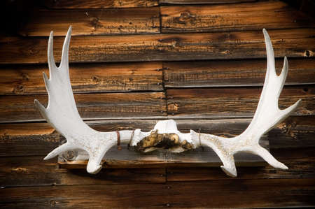 Old display of mounted Elk horns, now dried out and bleached by the sun. Stock Photo