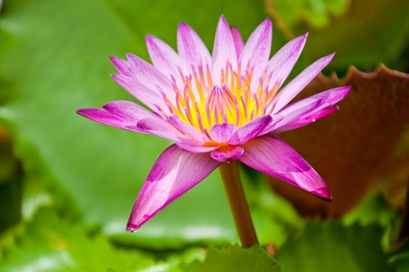 The lotus flower on the water Stockfoto