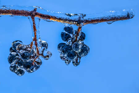 grape vines: Blue grapes hanging from a vine after a freezing rain storm. Perfect blue background from the sky after the storm cleared up.