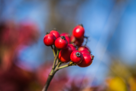 natural fruits of red rosehip in the autumn. Stock Photo