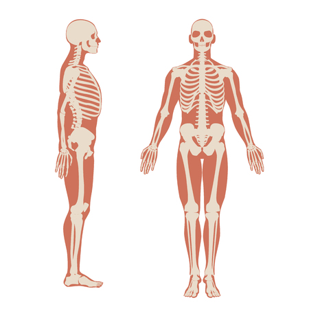 Human skeleton front and side view. Men anatomy illustration on white background with a body silhouette. Vector illustration