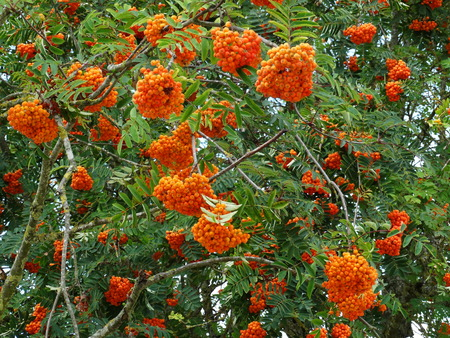 sorbus aucuparia: Clusters of orange berries of a rowan tree, the sorbus aucuparia