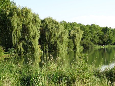 salix: Weeping willows, Salix, and other trees standing along the waterside Stock Photo
