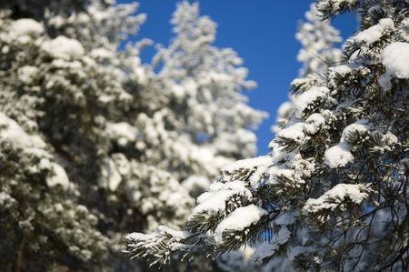 Pine tree branches covered with snow and frost