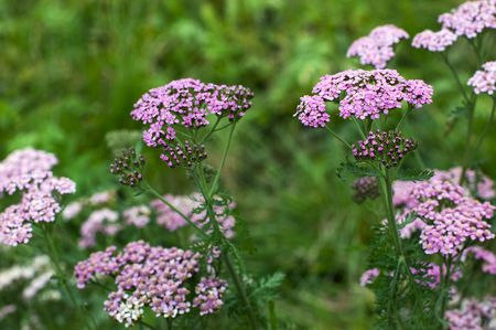 Pink yarrow in the garden photo