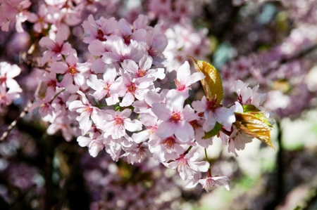 Spring image of a cherry tree blossom, selective soft focus Stock Photo