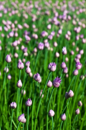 Background of chive flowers, selective focus